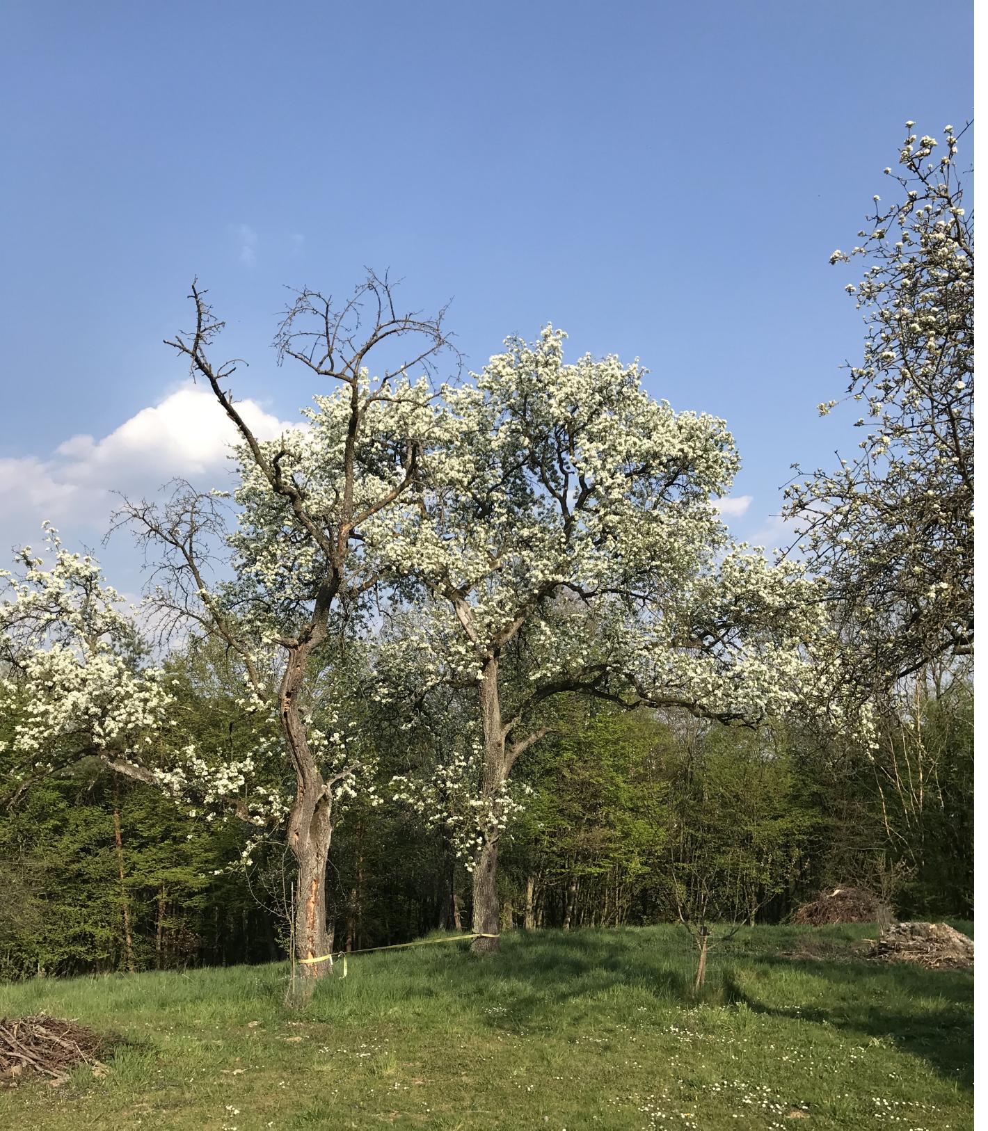 Garten mit blühendem Birnbaum